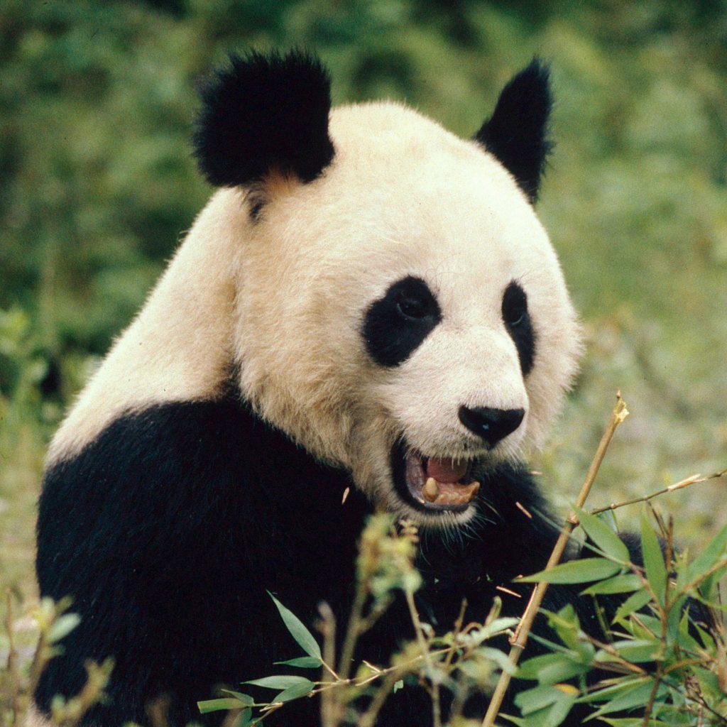 Giant panda (Ailuropoda melanoleuca); Wolong Nature Reserve, Sic