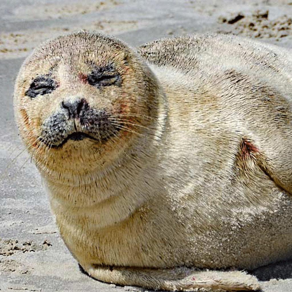 Junger_Seehund_liegt_auf_Sandstrand